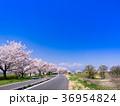 桜 桜並木 春の写真 36954824
