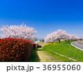 桜 ソメイヨシノ 春の写真 36955060