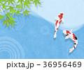 和を感じる背景素材 (鯉、水面、青紅葉) 36956469
