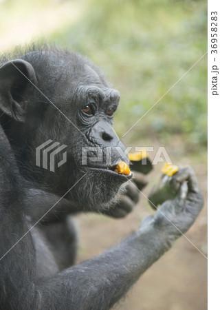 チンパンジー 36958283