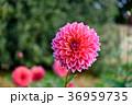 ダリア 花 テンジクボタンの写真 36959735