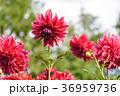 ダリア 花 テンジクボタンの写真 36959736