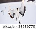 タンチョウ 着地 鳥の写真 36959775