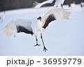 タンチョウ 着地 鳥の写真 36959779