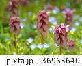 野草 ヒメオドリコソウ 花の写真 36963640