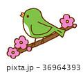 うぐいす 36964393