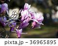 シモクレン 花 紫の写真 36965895