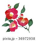 椿  水彩画 36972938