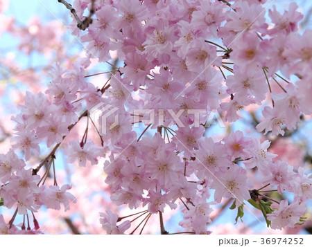 春の陽光を浴びる桜の花びら 36974252