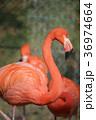 フラミンゴ 鳥 動物園の写真 36974664