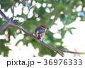 百舌鳥 モズ 野鳥 鳥 自然 肉食 36976333