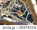 百舌鳥 モズ 野鳥 鳥 自然 肉食 36976358