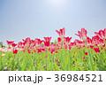 チューリップ チューリップ畑 花の写真 36984521