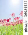 チューリップ チューリップ畑 花の写真 36984522