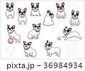 フレンチブルドッグ 犬 戌年のイラスト 36984934