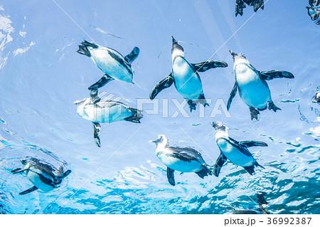 サンシャイン水族館の天空のペンギン 36992387