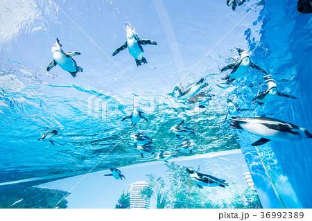 サンシャイン水族館の天空のペンギン 36992389