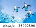 サンシャイン水族館 天空のペンギン ペンギンの写真 36992390