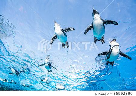 サンシャイン水族館の天空のペンギン 36992390
