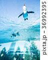 サンシャイン水族館 天空のペンギン 空飛ぶペンギンの写真 36992395