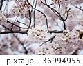 さくら 桜 春の写真 36994955