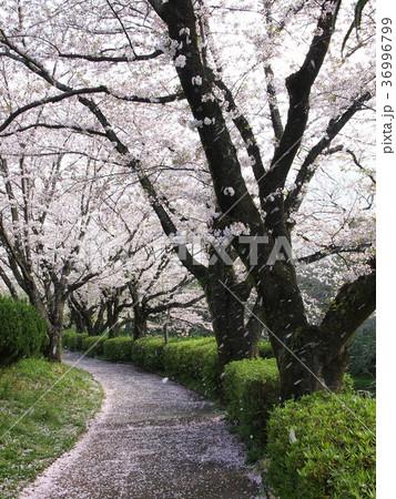桜の花びら舞い散る遊歩道 36996799