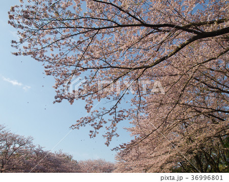 春の青空を舞う散り桜 36996801