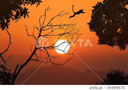 Langur jump on the leafless trees, red sky sunset 36999670