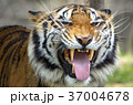 虎 トラ 動物の写真 37004678