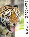 虎 トラ 動物の写真 37004679