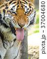 虎 動物 タイガーの写真 37004680
