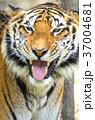 虎 動物 タイガーの写真 37004681