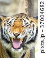 虎 動物 タイガーの写真 37004682