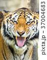 虎 動物 タイガーの写真 37004683
