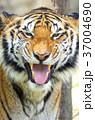 虎 動物 タイガーの写真 37004690