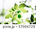 葉 葉っぱ 緑の写真 37004729