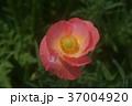 アイスランドポピー 花 赤色の写真 37004920