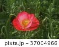 アイスランドポピー 花 赤色の写真 37004966