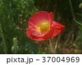 アイスランドポピー 花 赤色の写真 37004969