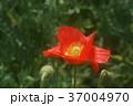 アイスランドポピー 花 赤色の写真 37004970