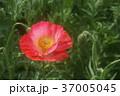 アイスランドポピー 花 赤色の写真 37005045