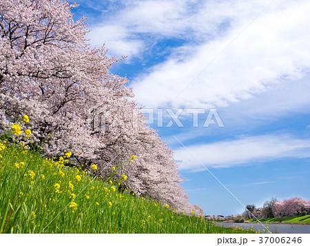桜並木と青空(びん沼自然公園付近) 37006246