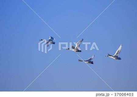 大空を舞う白鳥 37006403