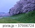 桜 桜並木 花の写真 37006728