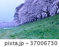 桜 桜並木 花の写真 37006730