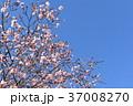 寒桜 青空 花の写真 37008270