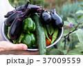 夏野菜の収穫(家庭菜園) 37009559
