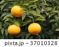 八朔 はっさく 木の写真 37010328