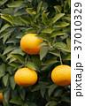 八朔 はっさく 木の写真 37010329