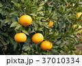 八朔 はっさく 木の写真 37010334